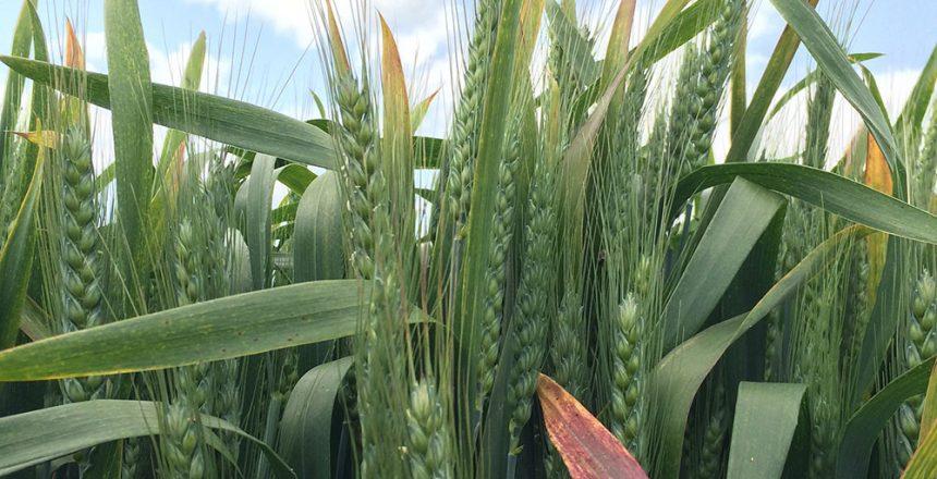 BYDV-wheat